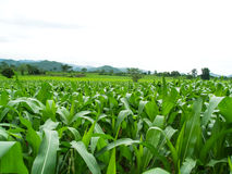 Green corn fields Royalty Free Stock Photo