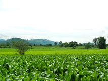 Green corn fields Royalty Free Stock Photography
