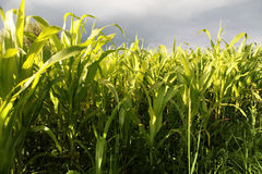 Green corn growing up Royalty Free Stock Photo