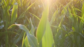 Green corn leaves in the field, Maize