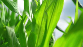 Green Corn Maize Plants in cultivated agricultural field ready for ensilage