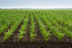 Green corn plants Royalty Free Stock Photography
