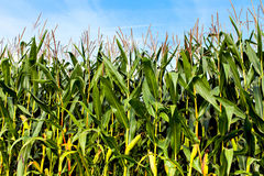 Green corn plants on a big field Royalty Free Stock Images