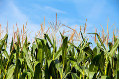 Green corn plants on blue sky background Royalty Free Stock Images