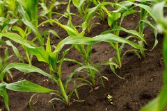 Green corn plants, close-up Stock Image