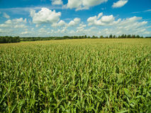 Green corn plants in a corn field agricultural fields with cloudy blue sky in germany Stock Images
