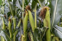 Green corn plants on farmland - Close up view. Nature Background Royalty Free Stock Photography