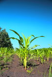 Green corn sprouts Stock Images
