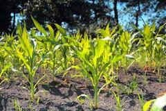 Green corn sprouts Stock Photos