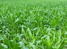 Green cornfield. In early summer, Poland Stock Images