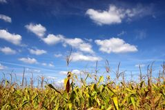 Green cornfield. And blue sky Royalty Free Stock Images