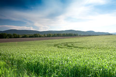 Green cornfield Stock Image