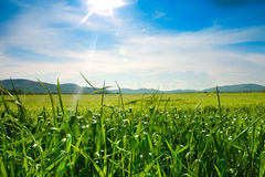 Green cornfield. With blue sky,summer Stock Image