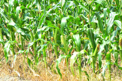 Green cornfield Stock Photography
