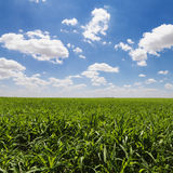 Green Cornfield and Blue Sky Royalty Free Stock Photos