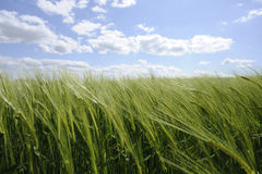 Green cornfield with blue sky and clouds Stock Photography