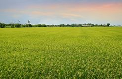 Green cornfield with blue sky and clouds in the morning at Thailand. Green cornfield with blue sky and clouds in the evening at Thailand, Idea agriculture Stock Photography
