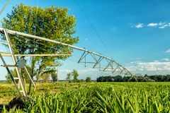 Green cornfield with irrigation system. Sunny summer day. Concep. T of natural agriculture Stock Photos