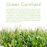 Green cornfield isolated Stock Photo