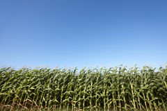 Green cornfield over a blue sky in Terceira. Azores. Portugal Royalty Free Stock Photos