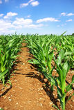 Green cornfield at Portugal. Stock Photos