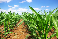 Green cornfield at Portugal. royalty free stock images