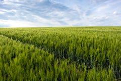 Green cornfield and sky Royalty Free Stock Photo