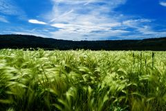Green cornfield in summer Royalty Free Stock Image