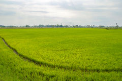 The green cornfield. Royalty Free Stock Images
