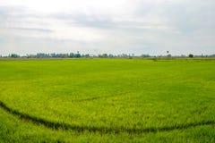 The green cornfield. Stock Photo