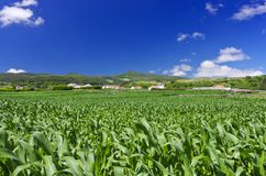 Green cornfield Terceira near Agualva. Azores. Portugal. Horizon Royalty Free Stock Images