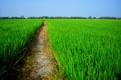 Green cornfield, Thailand. Royalty Free Stock Images