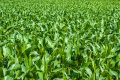 Green cornfield under the sun Royalty Free Stock Images