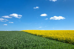 Green cornfield and yellow field diagonally Stock Photos