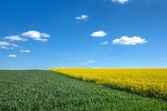 Green cornfield and yellow rape field diagonally Stock Photos