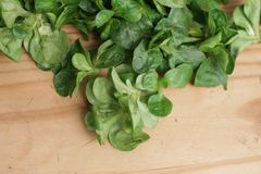 Green Cornsalad. Mache salad lettuce field corn royalty free stock photography