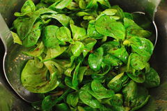 Green Cornsalad. Mache salad lettuce field corn royalty free stock images