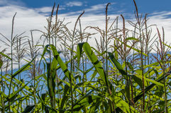 Green cornstalks with blue sky Stock Photos