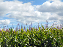 Green cornstalks with tassels against blue summer sky Royalty Free Stock Photography