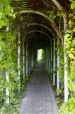 Green corridor. Summerhouse corridor covered with green climbing vine climber Stock Photos