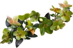 Green Corsican Flower Stock Photos