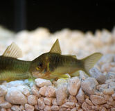 Green  Cory Corydoras trilineatus catfish Stock Photos