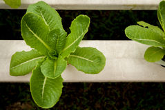 Green cos in hydroponic farm Royalty Free Stock Photos