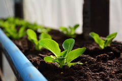 Green cos hydroponics vegetable. Royalty Free Stock Photos