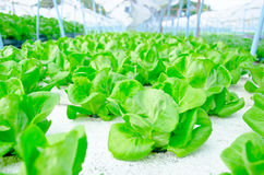 Green cos lettuce/ butterhead - hydroponics vegetable farm. Stock Images