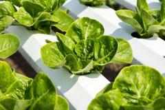 Green cos lettuce salad in hidroponic farm. Close up green cos lettuce salad in hidroponic farm Stock Photos