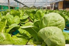 Green Cos vegetable Stock Photos