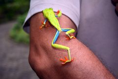 Green Costa Rican frog with red eyes and blue paws Stock Images