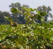 Green Cotton Stock Photos