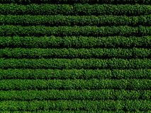 Green country field of potato with row lines, top view, aerial photo royalty free stock images
